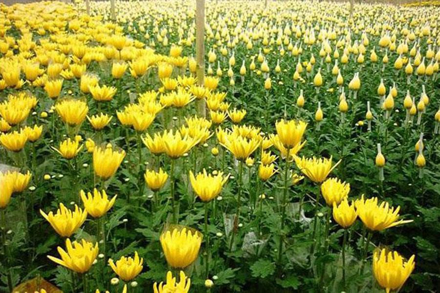 bón super humic cho hoa cúc