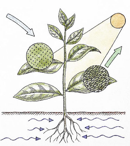 dinh dưỡng cây trồng hấp thu qua lá
