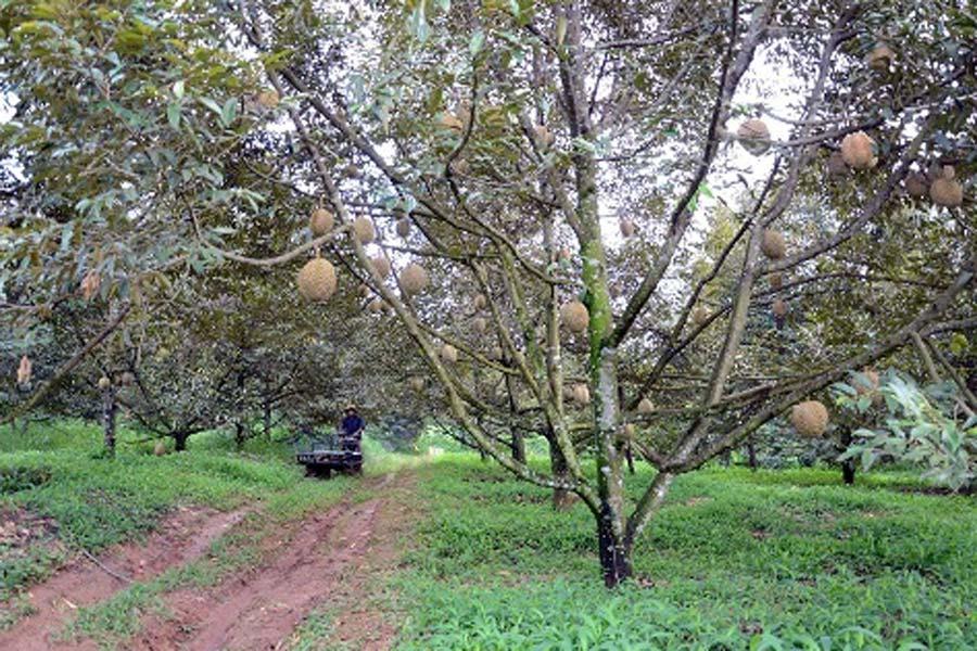 gía sầu riêng khoán vườn