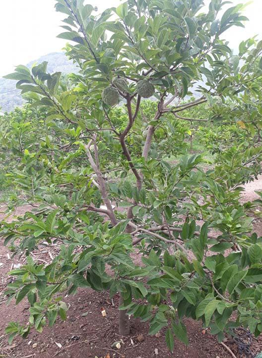 super humic giúp cây khỏe