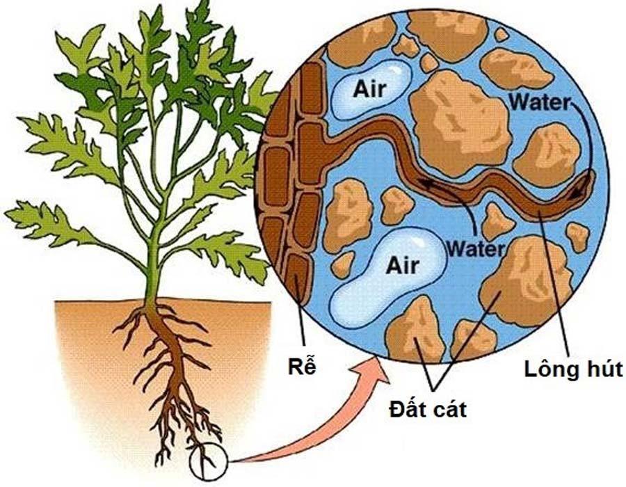 vai trò của bộ rễ