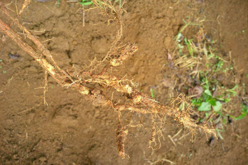 vàng lá thối rễ cà phê