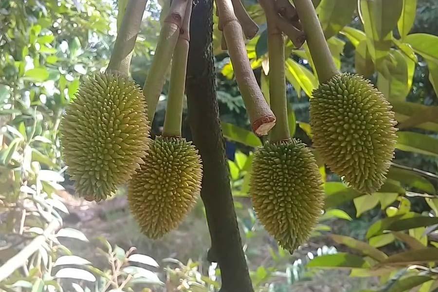 phân bón amino dưỡng trái