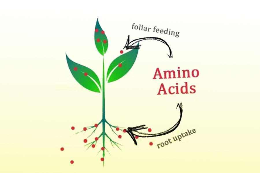 sử dụng phân bón lá amino