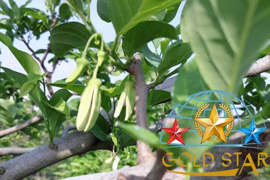 thuốc đậu trái cho mãng cầu