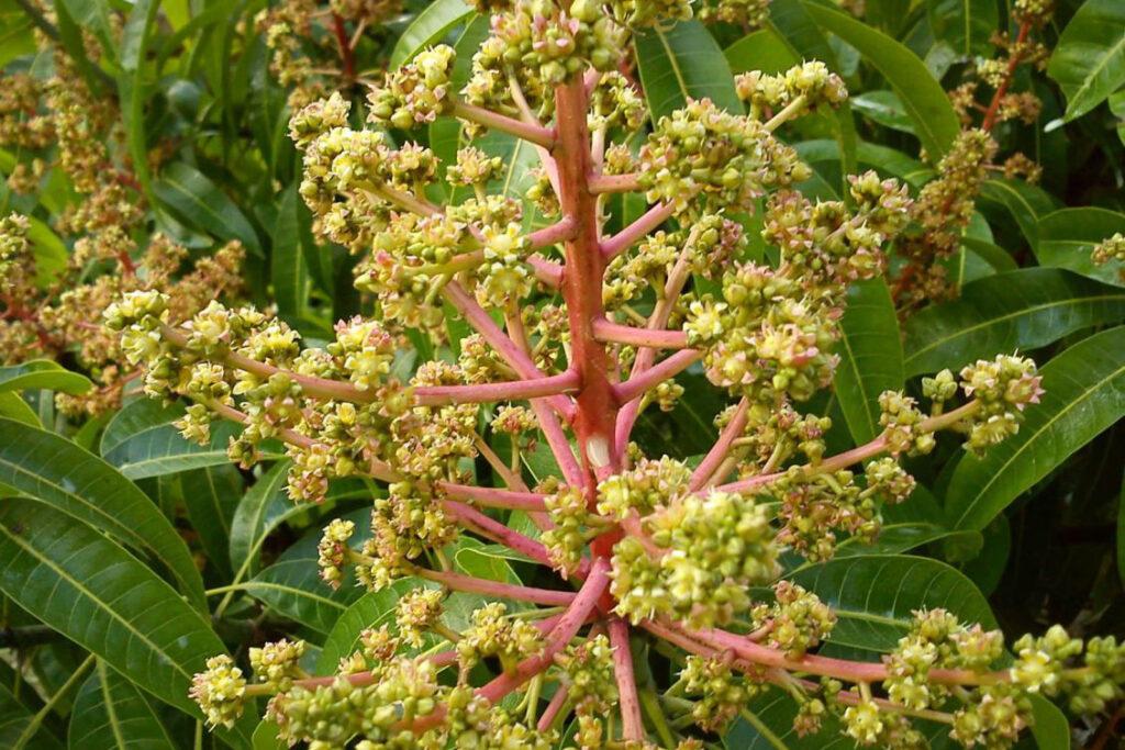 thuốc chống rụng hoa xoài