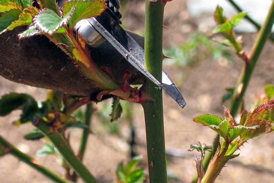 cắt cành giâm hoa hồng