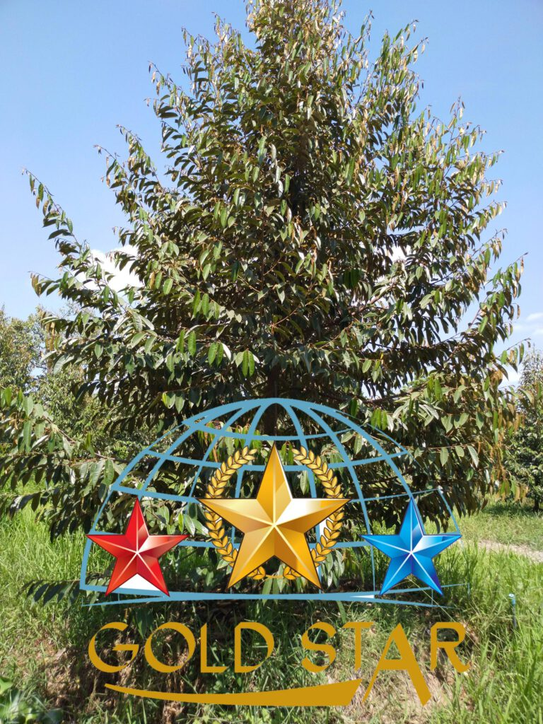 thuoc-kich-re-phuc-hoi-sau-thu-hoach-sau-rieng-kim-nong-goldstar1